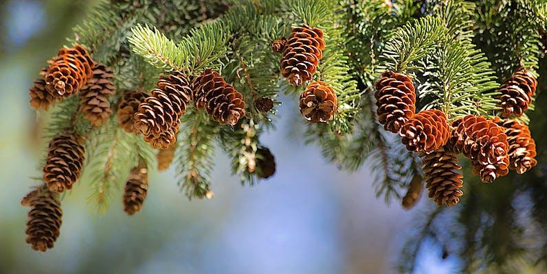 Fira de l'Avet d'Espinelves, parada obligada per Nadal