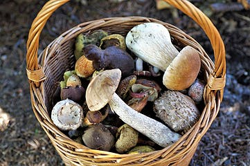 10 tips to be good on gathering mushrooms